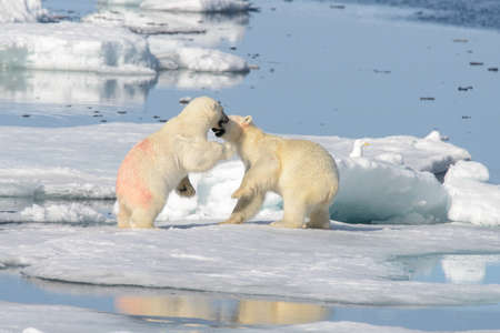 Two polar bear cubs playing together on the ice north of Svalbard Stock Photo