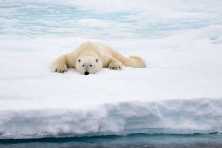 Polar bear lying on ice with snow in Arctic, North of Svalbard
