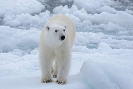 Wild polar bear on pack ice in Arctic sea close up Zdjęcie Seryjne