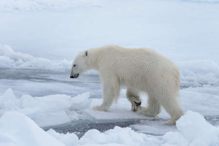 Wild polar bear on pack ice in Arctic sea close up 免版税图像
