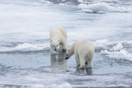 Two young wild polar bears playing on pack ice in Arctic sea, north of Svalbard Stok Fotoğraf