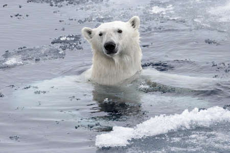 Polar bear (Ursus maritimus) swimming in Arctic sea close up
