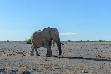 Wild elephant walking in the African savanna 免版税图像