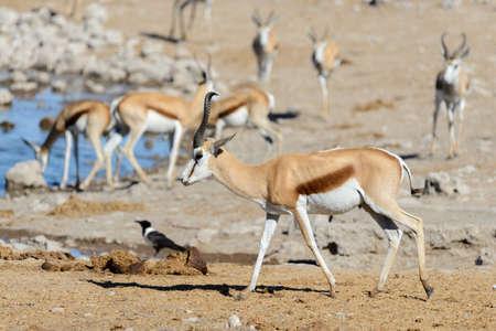 Wild springbok antelopes in the African savanna Фото со стока