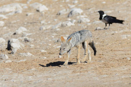 Wild jackal on waterhole in the African savanna