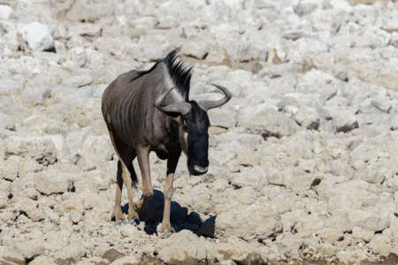 Wild gnu antelope in in African national park