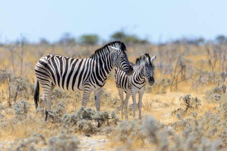 Wild zebra mother with cub walking in the African savanna