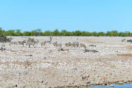 Wild zebras walking in the African savanna Фото со стока