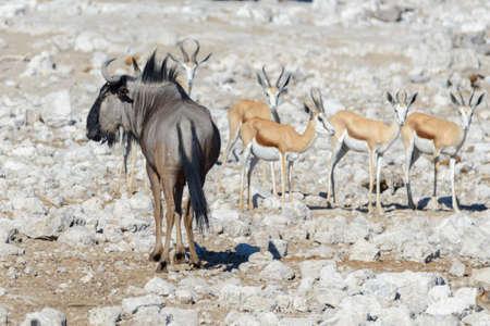 Wild african animals, gnu, kudu, orix, springbok, zebras drinking water in waterhole Фото со стока