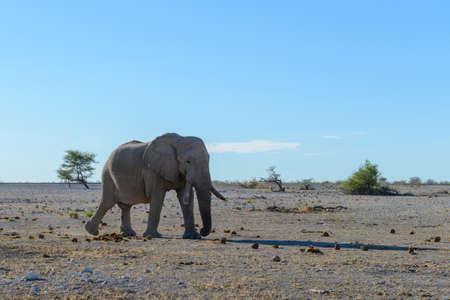 Wild elephant walking in the African savanna Фото со стока