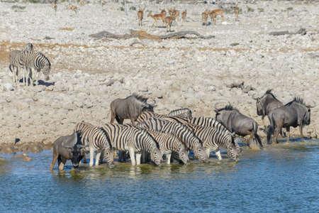 Wild zebras drinking water in waterhole in the African savanna Фото со стока