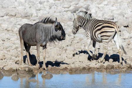 Wild african animals -gnu, kudu, orix, springbok, zebras drinking water in waterhole Stock Photo