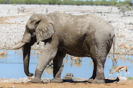 Wild african elephant on the waterhole in the savanna Фото со стока