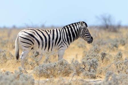 Wild zebra walking in the African savanna close up Фото со стока
