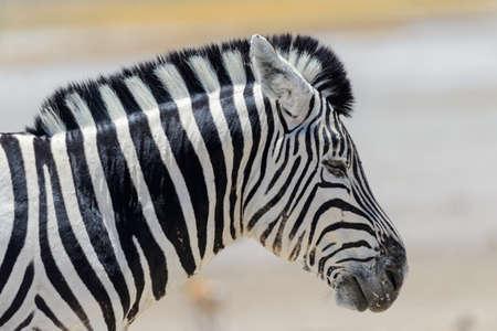 Zebra's head close up Reklamní fotografie