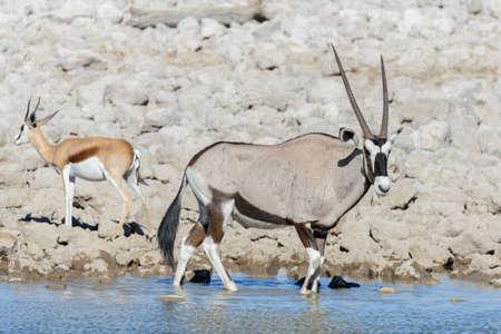 Wild oryx antelope in the African savannah Stock Photo