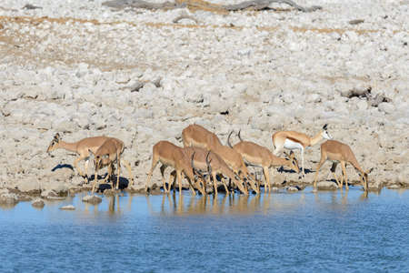 Wild springbok antelopes in the African savanna Stock Photo