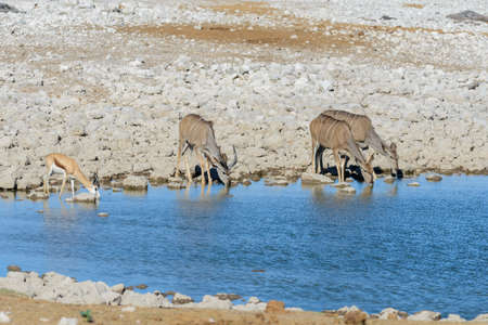 Wild kudu antelopes in the African savanna