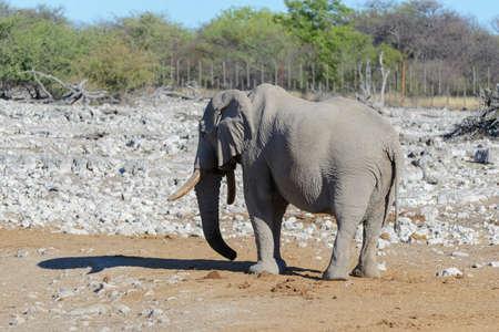 Wild african elephant walking in the savanna Фото со стока
