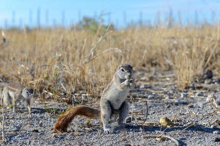 South African ground squirrel Xerus inauris sitting