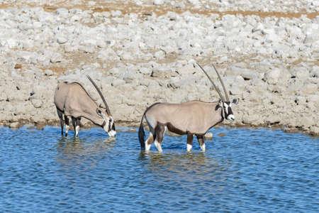 Wild oryx antelope in the African savannah Фото со стока