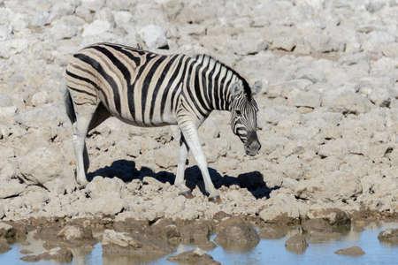 Wild african animals -gnu, kudu, orix, springbok, zebras drinking water in waterhole Фото со стока