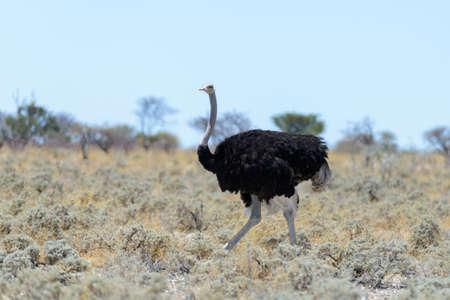 Autruche sauvage marchant dans la savane africaine