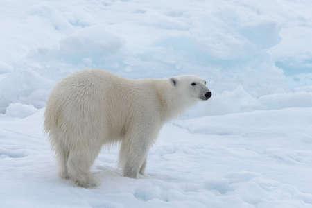 Wild polar bear on pack ice in Arctic sea close up Stock fotó
