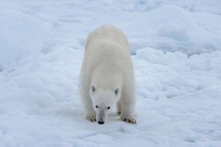 Wild polar bear on pack ice in Arctic sea close up Stockfoto