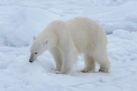 Orso polare selvaggio sulla banchisa nel mare artico da vicino