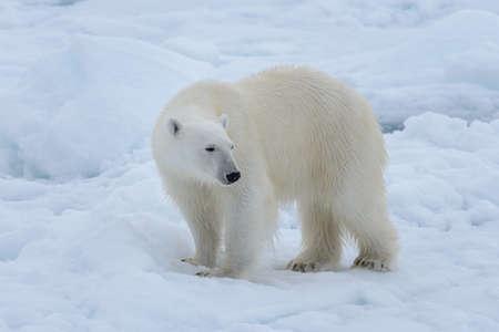 Ours polaire sauvage sur la banquise en mer arctique se bouchent Banque d'images