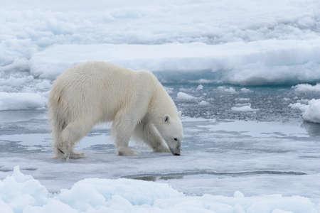 Wilder Eisbär auf Packeis im arktischen Meer hautnah