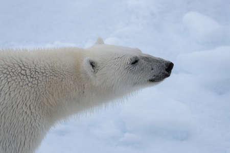 Polar bear's (Ursus maritimus) head close up