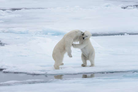 Two young wild polar bears playing on pack ice in Arctic sea, north of Svalbard Stockfoto