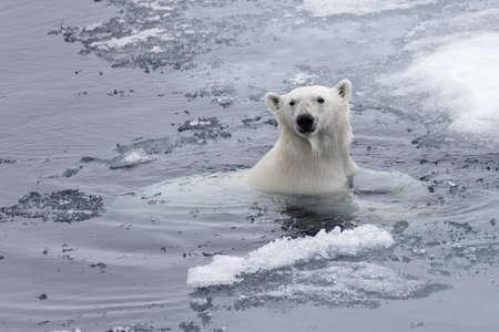 Ijsbeer (Ursus maritimus) zwemmen in de Arctische zee close-up