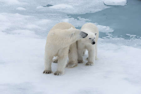 Polar bear (Ursus maritimus) mother and cub on the pack ice, north of Svalbard Arctic Norway Stock Photo