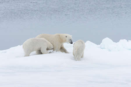 Polar bear (Ursus maritimus) mother and twin cubs on the pack ice, north of Svalbard Arctic Norway Stock fotó