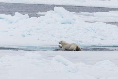 Oso polar salvaje y cachorros saltando a través del hielo en el hielo, al norte de la Noruega ártica de Svalbard Foto de archivo