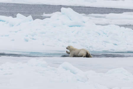 Wild Polar Bear and cubs jumping across the ice on the pack ice, north of Svalbard Arctic Norway Stockfoto