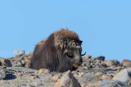 Muskox (Ovibos moschatus) in Greenland tundra Banque d'images