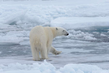 Wild polar bear on pack ice in Arctic sea close up Banque d'images
