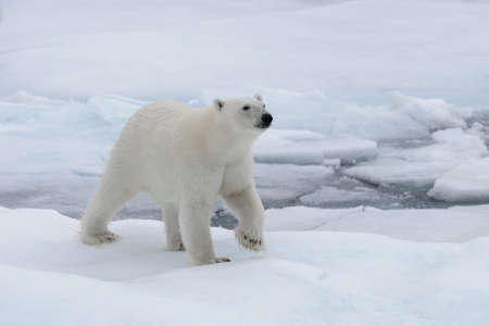 Wild polar bear on pack ice in Arctic sea
