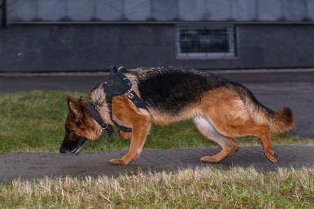 German shepherd police dog. Close up.