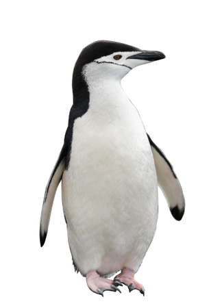 Chinstrap penguin on the beach