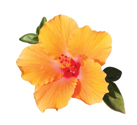 hibiscus: orange hibiskus flower with green leaves under sunlight isolated on white background