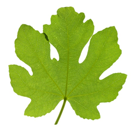 feuille de vigne: De feuilles de figuier isolé sur fond blanc Banque d'images
