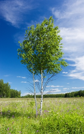 Lonely young couple of birches stands on a green field under the summer sunlight against the blue sky with white clouds photo