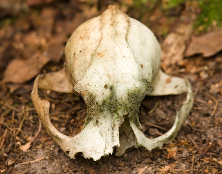Old broken moldy animal skull on a faded brown ground Stock Photo - 15421184