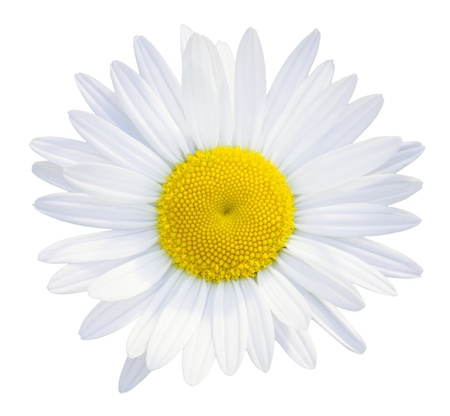 Daisies flower head isolated on white background photo