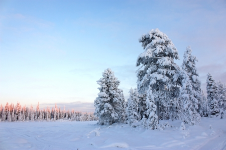 Snowy field and snow-covered pine trees and forest in the distance under clear blue sky at sunset, winter landscape photo